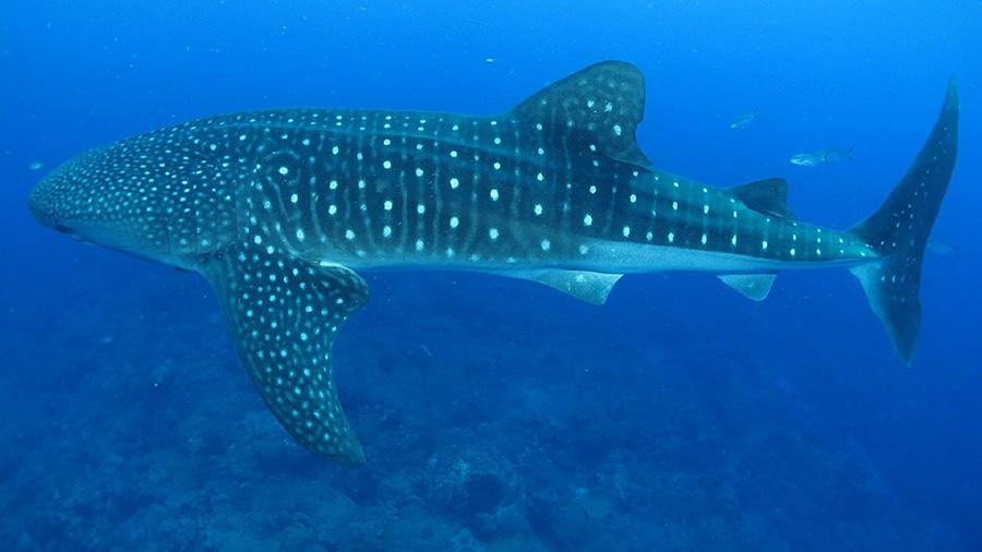 Vida Tours - Oslob Whale Shark Watching